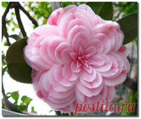 ShangralaFamilyFun.com - Shangrala's Beautiful Rare Flowers!
