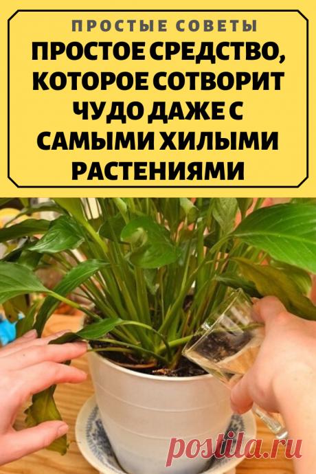 ПРОСТОЕ СРЕДСТВО, КОТОРОЕ СОТВОРИТ ЧУДО ДАЖЕ С САМЫМИ ХИЛЫМИ РАСТЕНИЯМИ.Недавно мне рассказали о средстве, которое способно сотворить чудо даже с хилыми, болезненными растениями. Банановая кожура для комнатных растений — одно из самых действенных удобрений!