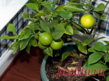 Лимон: чем подкормить деревце в домашних условиях Очень многие люди, которые даже не являются профессиональными садоводами, выращивают у себя лимон. Потому что его очень просто выращивать и делать это можно как на садовом участке, так и прямо в своей...