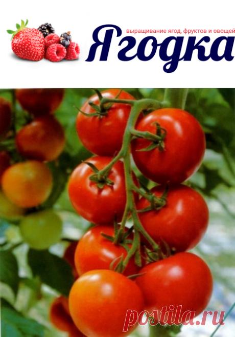 Отечественные томаты Санька, которые не подведут