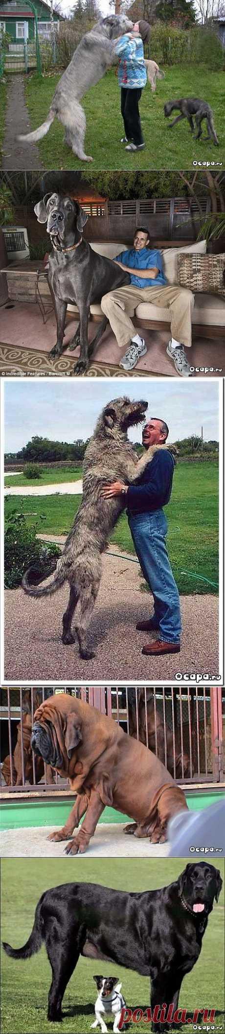 Самые большие собаки в мире (60 фото) - интересное на capa.me