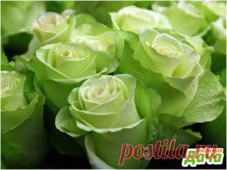 "Роза ""спрей Грин Глоу"" Роза нежного зеленого цвета."
