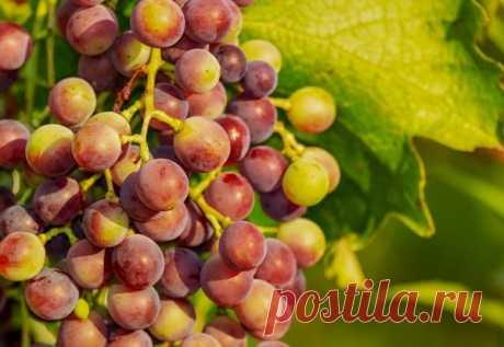 Антракноз – опасная виноградная болезнь