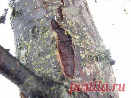 Чем лечить поврежденную кору у плодовых деревьев. (яблоня, груша, вишня, слива и т.д.)