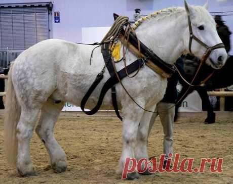 Тяжеловозы - самые большие и сильные лошади Тяжеловозы - породы больших и сильных лошадей, назначение которых - перевозка тяжеловесных грузов. Потребность в очень сильных лошадях возникла в Средневековье: рыцаря в полном вооружении была способн...