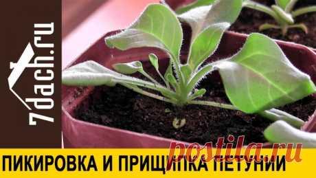 Выращивание петунии: пикировка и прищипка  Выращивание петунии - дело очень интересное. Важно вовремя провести пикировку и прищипывание растений. Как пикировать и прищипывать петунию, чем и когда удабривать, как пересадить рассаду, выращенную в торфяных таблетках - в нашем ролике.  Подпишитесь на канал 7dach.ru: https://goo.gl/22MWwK