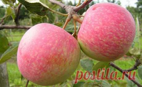 Характеристики и культивирование яблони Коричное полосатое