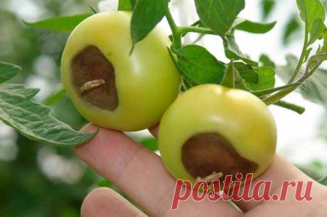 Помидоры не болеют фитофторой и другими болезнями. Говорю, что нужно делать в июле для получения огромного урожая томатов. | Малая Поляна | Яндекс Дзен