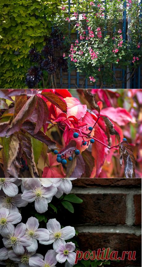 Вьющиеся растения для сада украсят участок и сделают его уютней