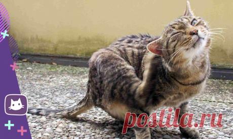 🐱Как уберечь кошку от ушного клеща и что делать, если кошка уже заболела | Нос, хвост, лапы | Яндекс Дзен