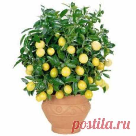 (48) Одноклассники    Как вырастить лимон дома