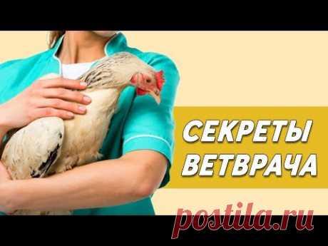 СЕКРЕТЫ ВЕТВРАЧА. Как бороться с распространенными болезнями кур.