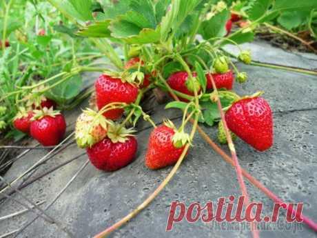 Садовая земляника Мармелада: растим сладкую ягоду в саду