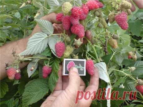 Малиновое дерево Таруса: учимся сажать и выращивать