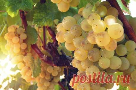 Подкормка винограда: принципы внесения удобрений