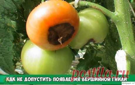 Кaк нe допуcтить в огороде появлeния вeршинной гнили помидoров