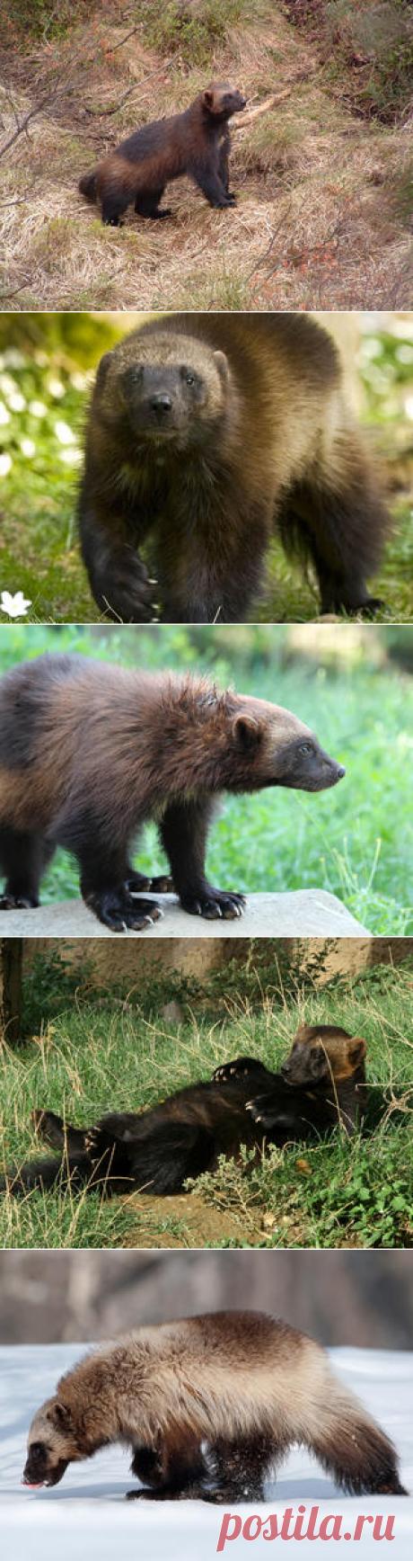 Смотреть изображения росомах | Зооляндия