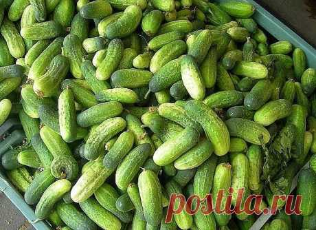 6 INVALUABLE COUNCILS THAT LEAVES OF CUCUMBERS DID NOT TURN YELLOW \u000d\u000a\u000d\u000a\u000d\u000a\u000d\u000a1. After emergence of shoots in a phase of development of 3 - 4 leaflets cucumbers need to be processed the following structure: To add to a bucket of water 30 drops of iodine, 20 g of a laundry soap and 1 l of milk. Spraying so …