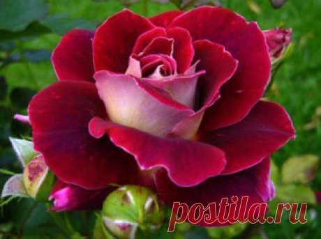 Весенняя подкормка роз – хорошая традиция садовода + видео Весенняя подкормка роз – обязательная традиция садовода, который хочет получить роскошный букет. В видео раскрыты все секреты успешной подкормки.