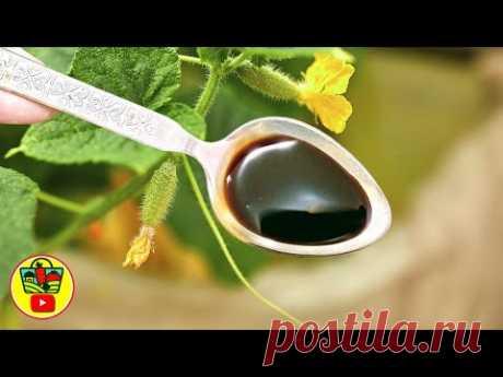От 1 ложки огурцы не желтеют и бурно плодоносят!