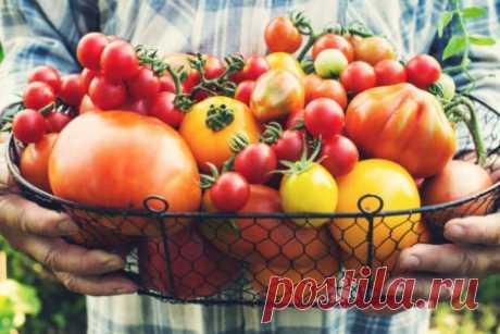 Старые, проверенные сорта вкусных томатов: характеристики и описание, фото