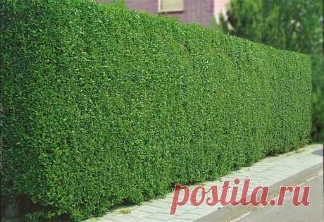 Нужна плотная, красивая изгородь? Посадите бирючину обыкновенную | 6 соток