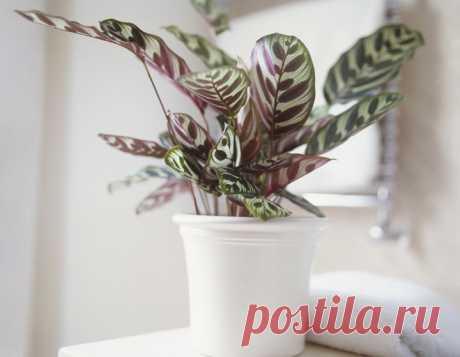 10 комнатных растений, которые вырастут даже в самом темном углу - ONE WOMAN Если вы любите комнатные растения, но лишь в начале своего садоводческого пути, обратите внимание на представленные ниже 10 вариантов. Они отлично подойдут новичку и вырастут даже в самом темном углу дома. Калатея Макоя Ее узорчатые разных цветов листья станут прекрасным дополнением любого интерьера. Калатея отлично растет при средней или низкой освещенности. При этом желательно обеспечить […]