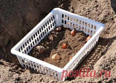 Октябрь – пора сажать тюльпаны. Практичный метод посадки в корзины | Наша Дача | Яндекс Дзен