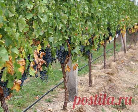 Качество и количество урожая винограда напрямую зависит от правильного ухода. Работы с лозой нужно начинать ранней весной. И продолжать на протяжении всего весенне-летнего сезона.