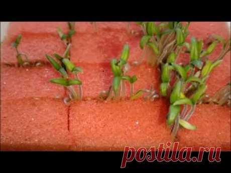 как прорастить семена в губке - YouTube