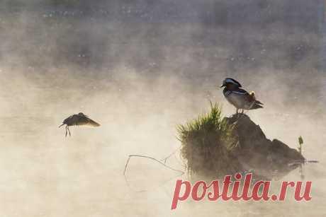 Доброе утро – К мандаринке у воды Кулик прилетел. Теплая рассветная фотография от Ольги Васик (nat-geo.ru/community/user/162878/). Отличного дня!