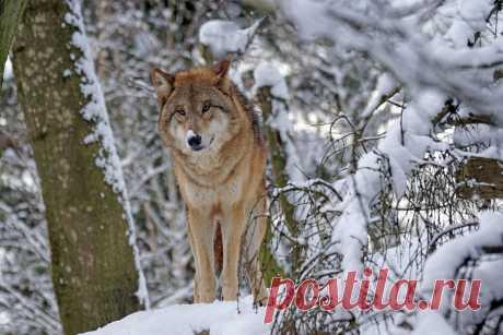 Дикая волчица «поженила» своих спасителей | О кошках и не только | Яндекс Дзен