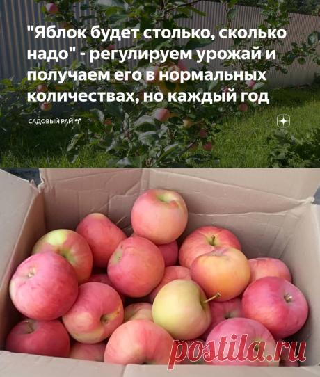 """""""Яблок будет столько, сколько надо"""" - регулируем урожай и получаем его в нормальных количествах, но каждый год   Садовый рай 🌱   Яндекс Дзен"""