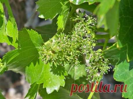 Что делать при осыпании завязи винограда | На Даче | Яндекс Дзен