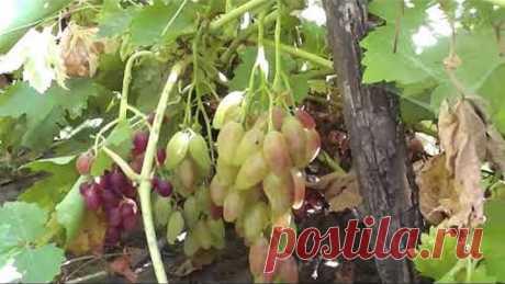На какой глубине саженцы винограда лучше развиваются