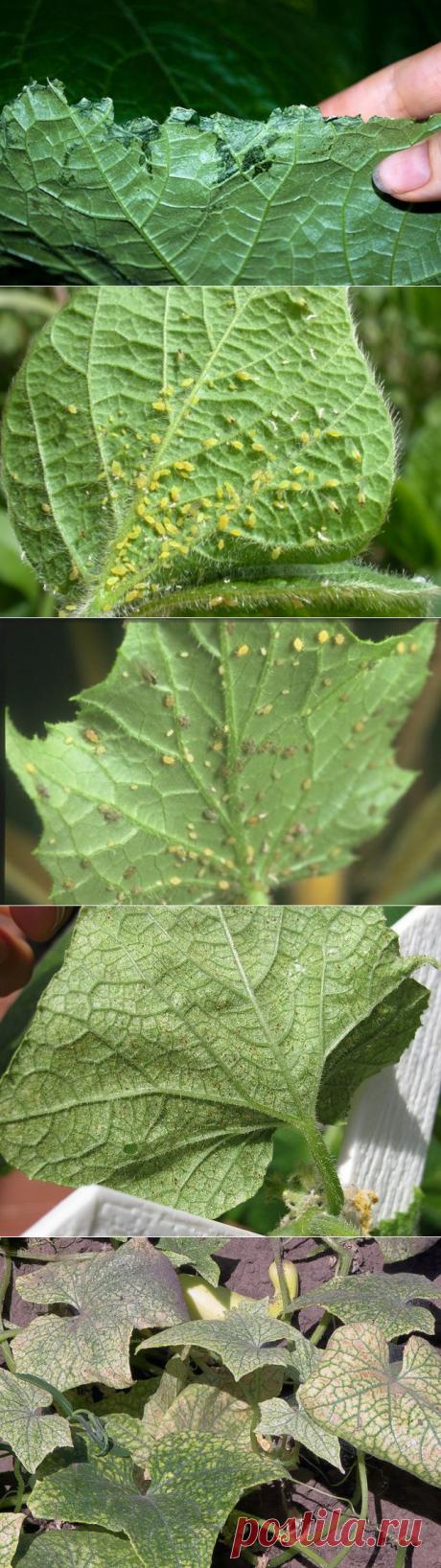 Вредители рассады огурцов и других видов сельскохозяйственных культур – как с ними бороться