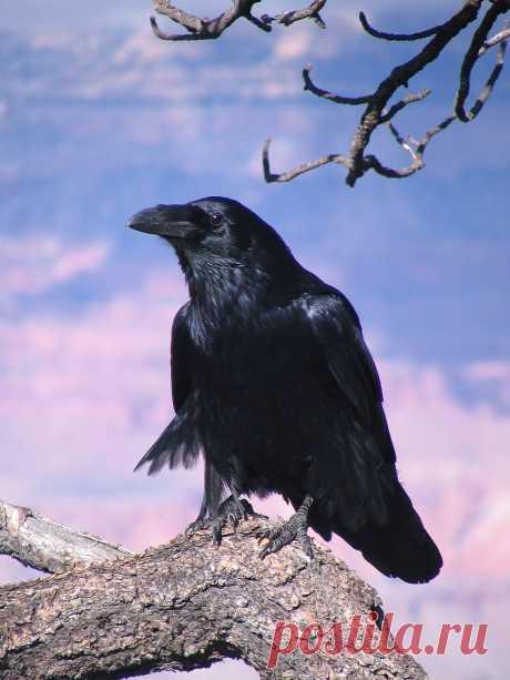 Ворон — Википедия