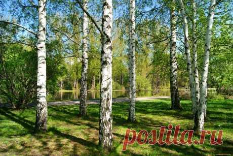 Обои Природа Деревья, обои для рабочего стола, фотографии природа, деревья, берёзы Обои для рабочего стола, скачать обои картинки заставки на рабочий стол.
