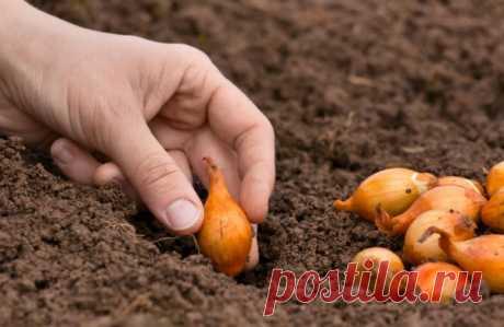 Как подготовить лук-севок к посадке — Садоводка