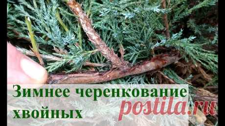 Зимнее черенкование хвойных 2 Немного подкорректирую детали зимнего черенкования хвойных растений. Субстрат, фунгицид, укоренитель, бокс для укоренения, подсветка. Всё это должно увеличит...