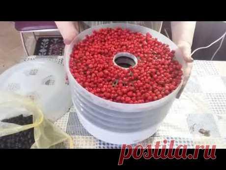 Как сушить ягоды  рябины и боярышника в сушилке