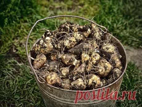 ️ Многоликий топинамбур и его полезные свойства