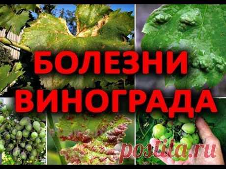 После этого видео, Вы будете точно знать как лечить виноград!