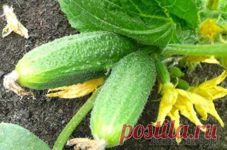 Чем подкормить огурцы в грунте, чтобы увеличить урожай в 2 раза | На грядке (Огород.ru)