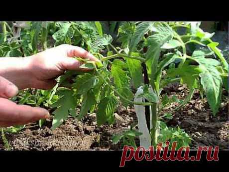 >Пасынкование томатов..