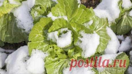 Какие овощи могут зимовать на грядке Осенью очень важно вовремя убрать урожай. Но как было бы здорово оставить овощи на грядке и собирать по мере необходимости до самых морозов, а потом и весной! Оказывается, есть культуры, которые совер...