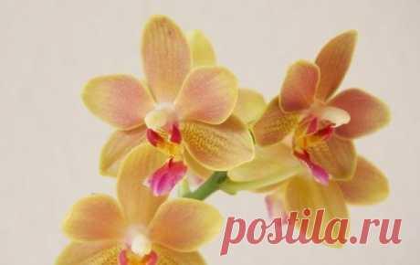 И Ваша орхидея будет цвести круглый год. 7 ВАЖНЫХ СЕКРЕТОВ по уходу за орхидеями… — Мой милый дом