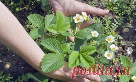 Как ухаживать за клубникой в июне – полезные советы от агронома   В саду (Огород.ru)