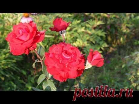 Как укрывать розы.  Советы Елены Иващенко - YouTube