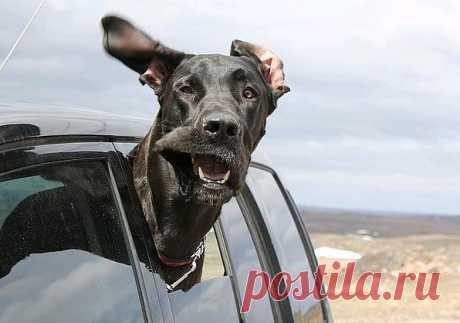 Животные, Которые Очень Любят Ездить В Машине